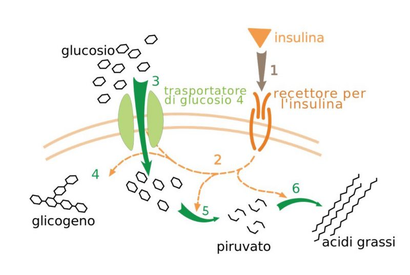come l'insulina ha effetto sul metabolismo
